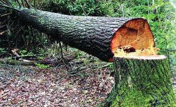 Спилить дерево во дворе многоквартирного дома: можно или нельзя, а также, как это сделать и есть ли штраф за вырубку деревьев на придомовой территории?